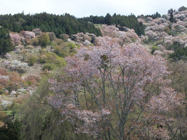 Sous Les Cerisiers Sont Enterres Des Cadavres Geikokujin