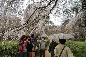 Comme les tas d'or au pied des arc-en-ciel, on trouve des tas de Japonais au pied des cerisiers.